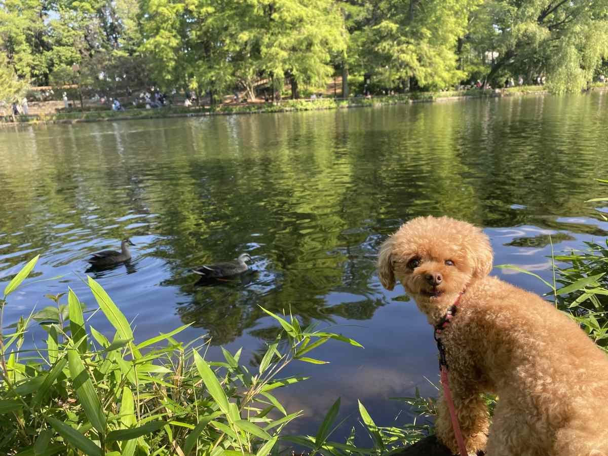 石神井公園の湖のカモ