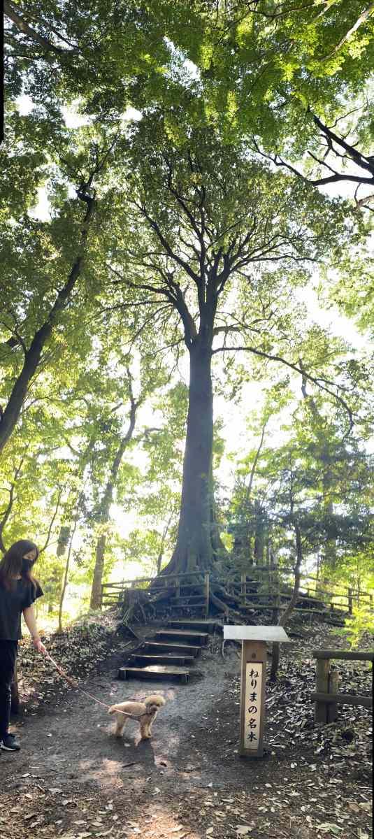 石神井公園の「ねりまの名木」