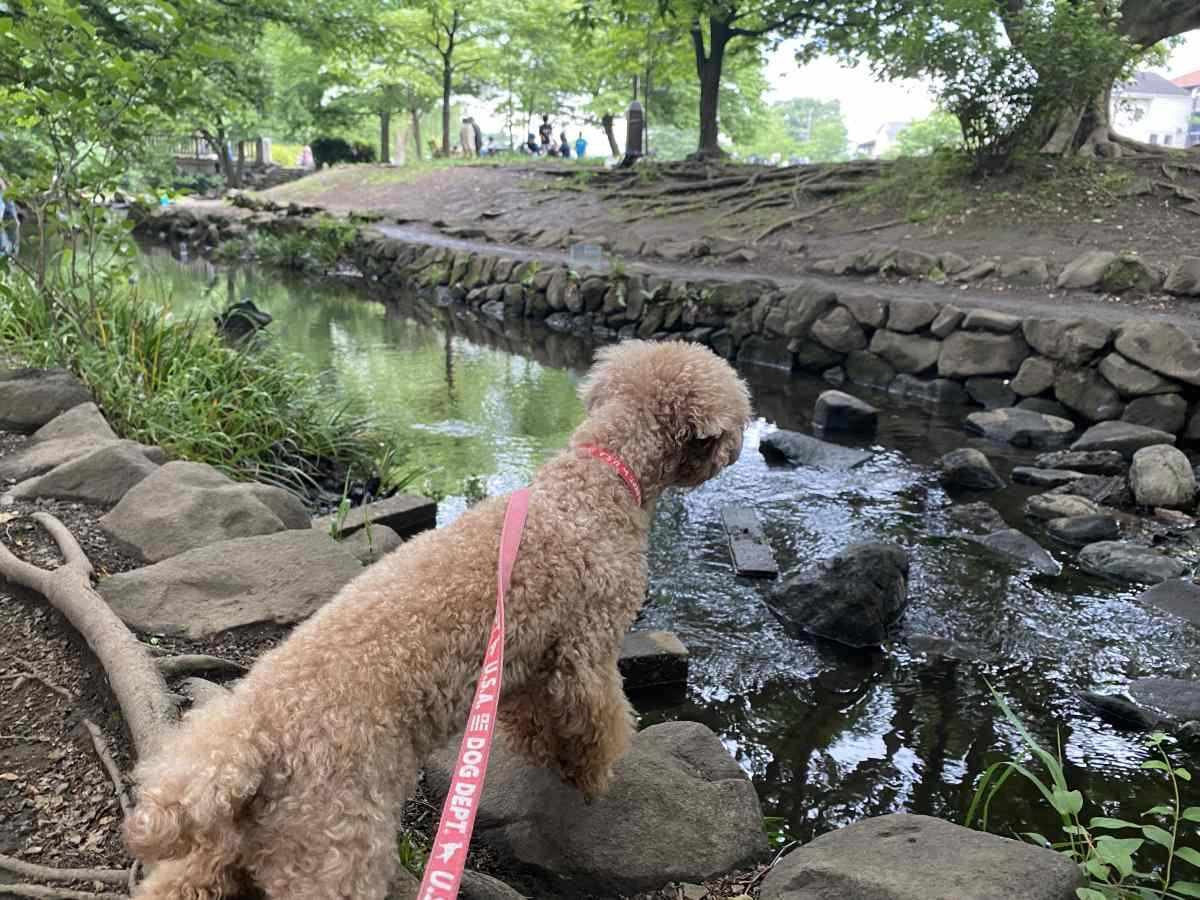 井の頭公園内の小川に愛犬と